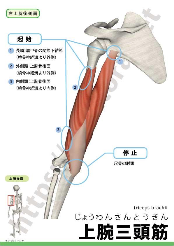 上腕三頭筋(triseps brachii) - rehatora.net