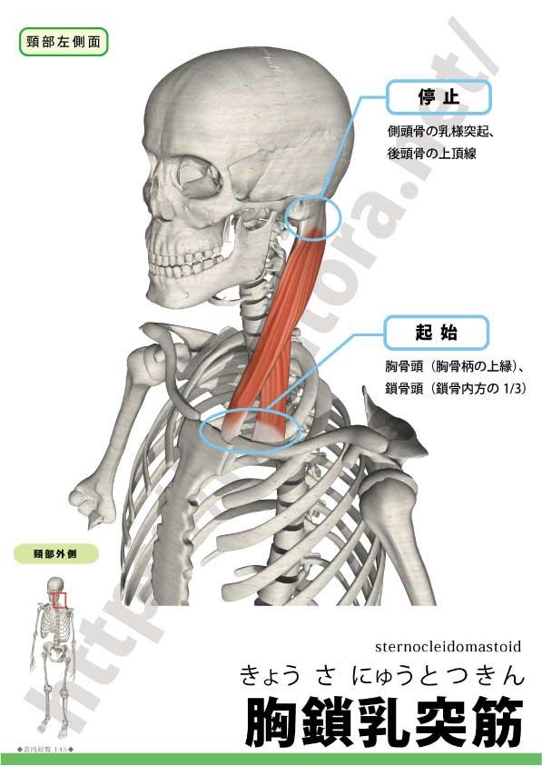 乳 胸 突筋 鎖