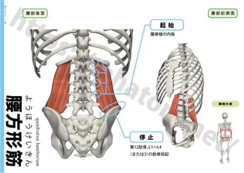 【専門職向け】腰方形筋が原因の痛みと治し方 - rehatora.net