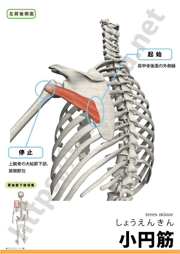 神経 麻痺 腋窩 腋窩神経 axillary