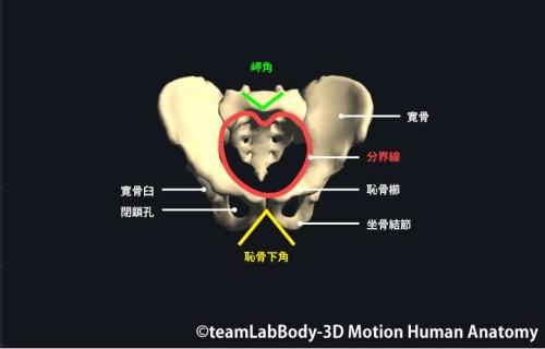 外閉鎖筋の特徴と作用 【内閉鎖筋と裏表の ...