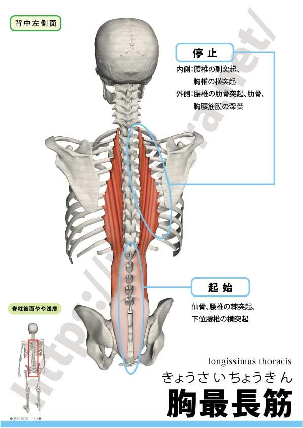 脊柱起立筋群は8つの筋肉から構成される - rehatora.net